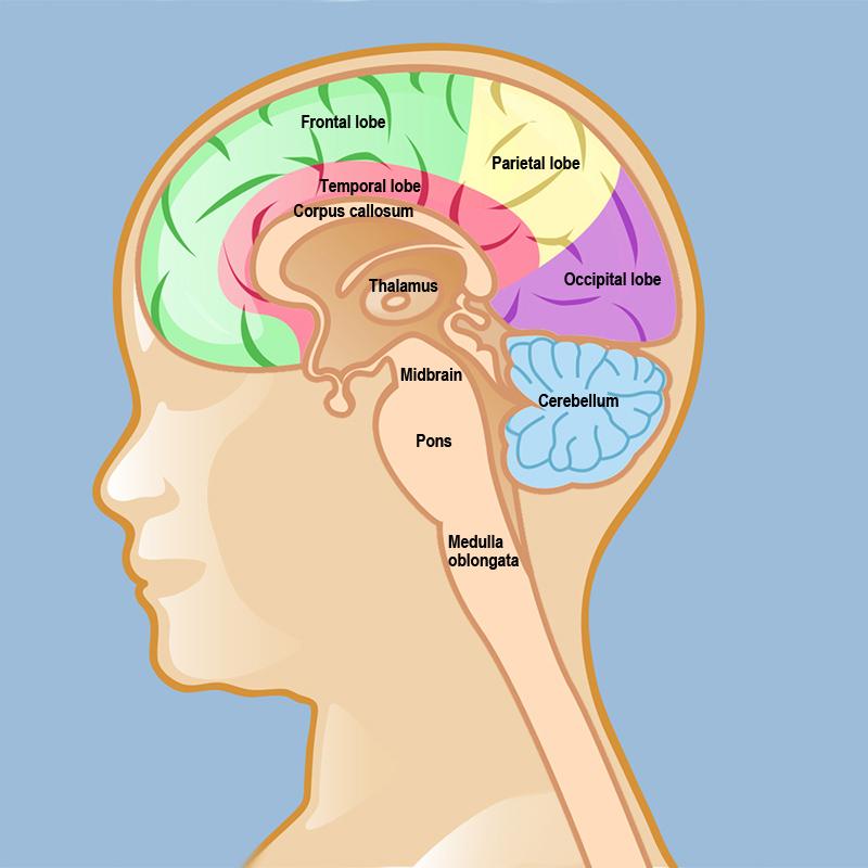 Thalamic Glioma | Weill Cornell Brain and Spine Center